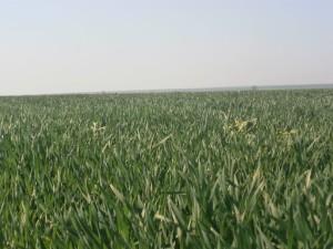 на снимката: полето с пшеница, във фенофаза начало на вретенене