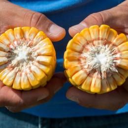 Oтлични резултати с Тимак Агро при царевица, Плевенскo