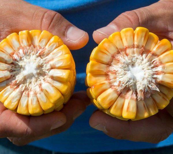 Oтлични резултати царевица, Плевенскo