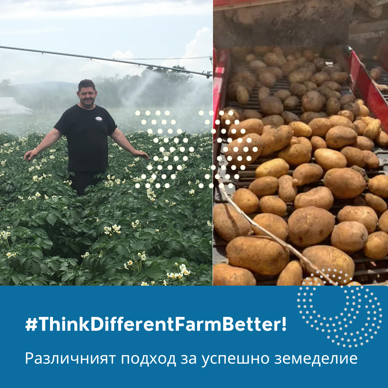 Отлични добиви в картофопроизводството #2